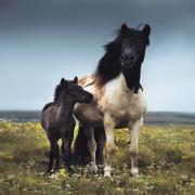 Icelandic horses 🐴 | world | travel | iceland